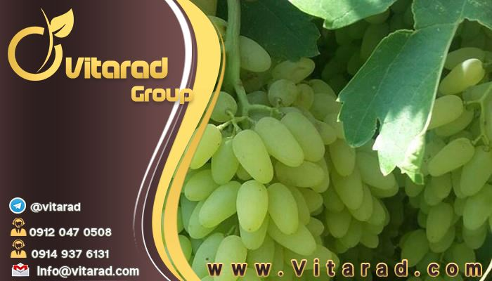 Wholesale price of grapes export companies in Iran