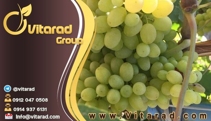 Askari grapes are the most delicious and in demand on the market