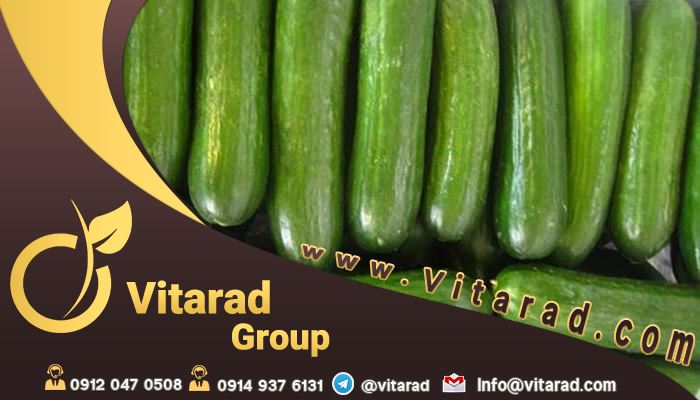 Major production and purchase of Iranian cucumber
