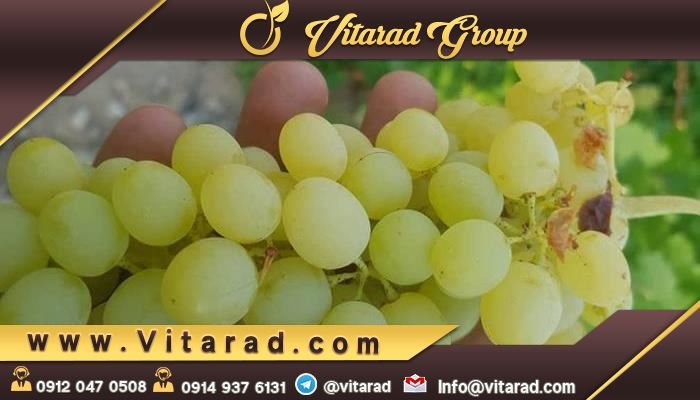 Exporting fresh grapes to Europe