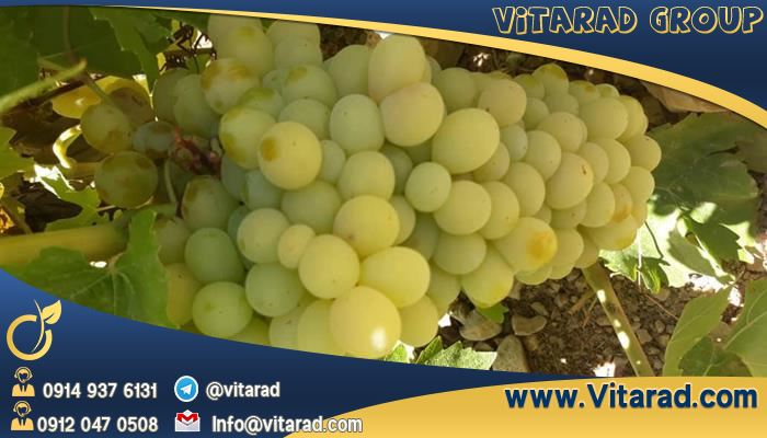 Grapes produced in Iran